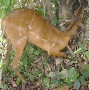 itatunga (Tragelaphus spekei)
