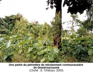 Une partie du périmètre de reboisement communautaire de Gnanhouizoumé