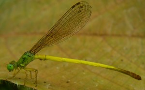 Ceriagrion citrinum Campion, 1914